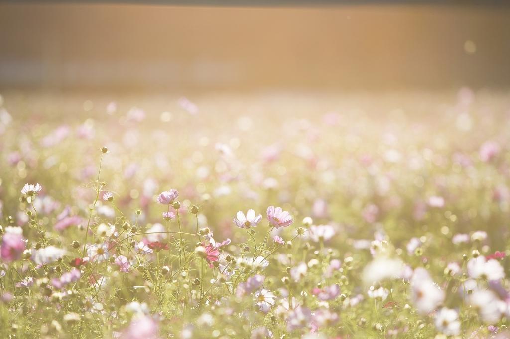 cosmos-flowers-1138041_19202-1024×682
